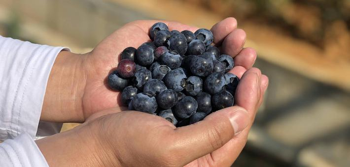 怀宁蓝莓熟了