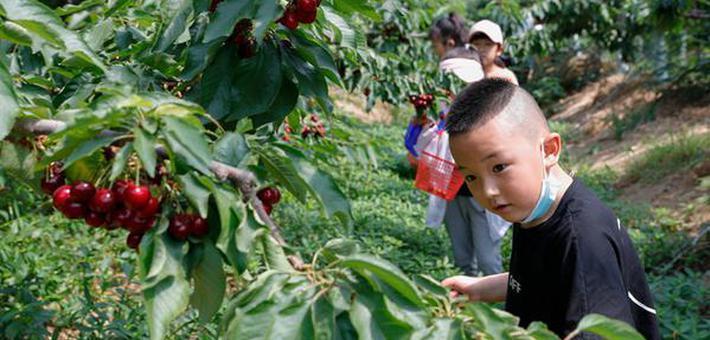安徽肥西:千亩樱桃带火采摘游