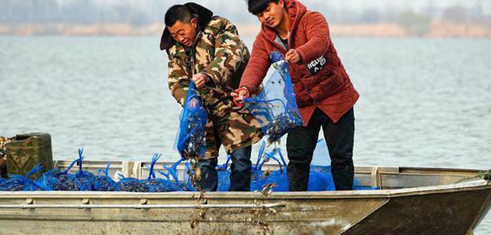 安徽五河:春日水暖 放蟹忙