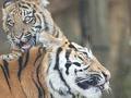 梦见老虎有什么含义