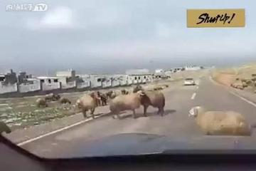 两只羊马路中间决斗,丰田汽车横穿决斗现场