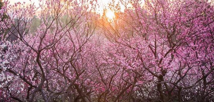 無錫梅園進入最佳賞花期,美得太震撼