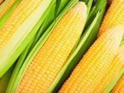 玉米单产恢复性增长 深加工扩大产能踊跃