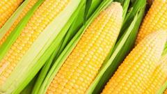 第五天:玉米单产恢复性增长 深加工扩大产能踊跃
