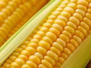 大商所春季考察东线报告系列之三:玉米面积显著下滑 水稻面积持续增加