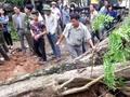 越南一棵200多年的黄花梨 成交价800万