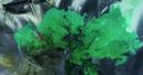 绿牡丹75cm#42cm