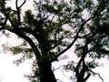 千年古槐树被定为一号文物