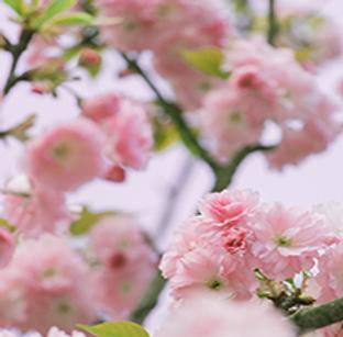 草长莺飞,樱花开了