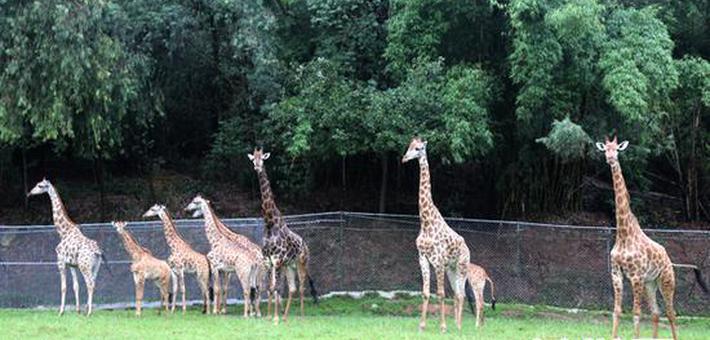20只南非长颈鹿入住重庆乐和乐都