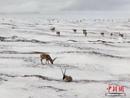 图集:可可西里数千只藏羚羊雪中觅食