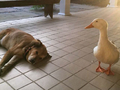 会有鸭子替我去爱你 好温馨