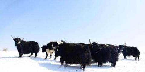 甘肃祁连山下风吹雪地见牛羊