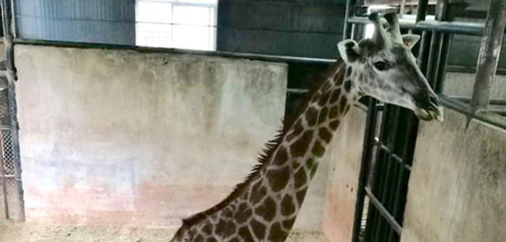 """云南一长颈鹿带领动物们玩转""""密室逃脱"""",被禁足后绝食装睡耍脾气"""