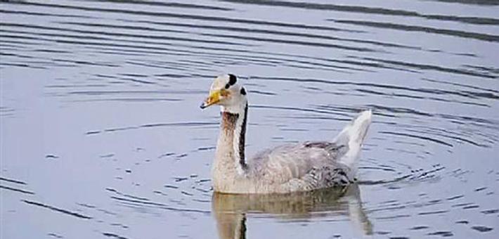 高原鸟类斑头雁旅居长海