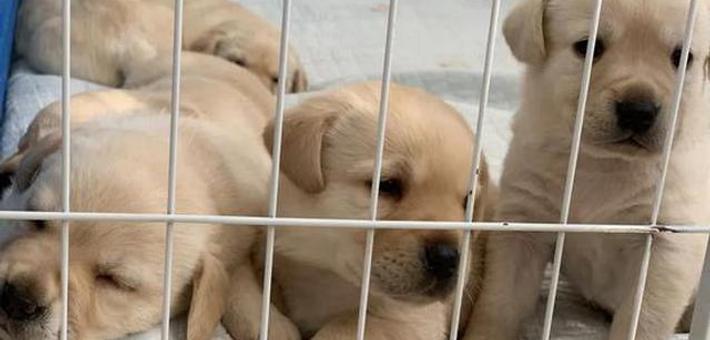 18只导盲犬幼犬寻找寄养家庭