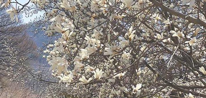 """龙王塘樱花园迎来""""单瓣樱花""""盛花期"""