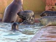 双语阅读:英国海豹幼崽的收容危机