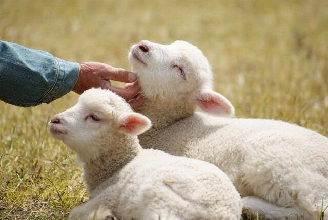 青青草原上又萌又温顺的小绵羊,朋友,吸羊吗