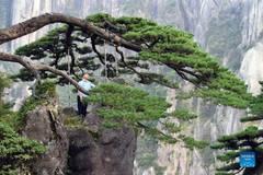 Photo story: guardian of Greeting Pine in Huangshan Mountain