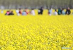 Tourists enjoy blooming flowers in Gu'an County, Hebei