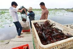 Crayfish harvested in Helin, China's Jiangxi