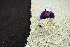 Workers make jasmine tea in Hengxian County, S China's Guangxi