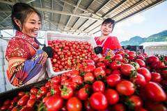 Farmers busy collecting cherry tomatoes during harvest season in China's Guizhou