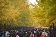 People view ginkgo trees in campus in Shenyang, China's Liaoning
