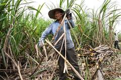 Farmers harvest sugar canes in south China's Guangxi