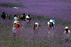 Tourists visit verbena field in Nanning, south China's Guangxi