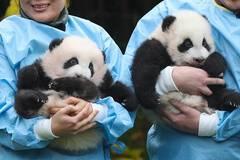 Giant panda twins of