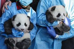 Berlin's twin panda newborns get names