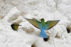 Blue-tailed bee eaters seen in Xiamen, Fujian
