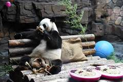 Zoo prepares air-conditioned room for giant panda as temperature rises in Jinan
