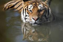Siberian tigers cool off in midsummer in China's Heilongjiang