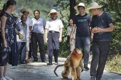 People live in harmony with golden snub-nosed monkey in Yangxian County