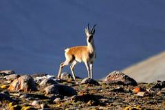 Tibetan gazelles seen at Haltent grassland in Gansu