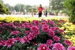 People enjoy chrysanthemums displayed at exhibition in Shijiazhuang