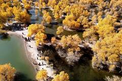 Tourists visit populus euphratica forest in NW China's Gansu