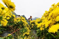 Chrysanthemum industry lifts locals out of poverty in Guizhou