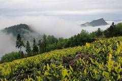 Tea plantations shrouded in clouds on Longchi mountain