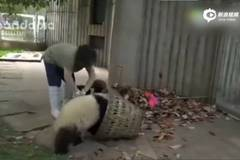 Panda babysitter gets popular with video, looked after 60 pandas in 8 years