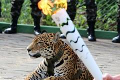 Amazon jaguar shot dead after Olympic torch ceremony