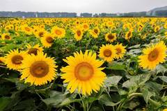 Sunflowers blossom in N China