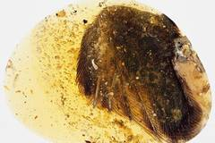 First amber containing bird's wing tip found in Myanmar