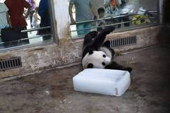 Cute panda plays with ice in high temperature