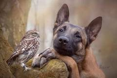 Friendship between dog and owl photographed by master