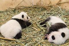 Lovely panda twins in Vienna zoo