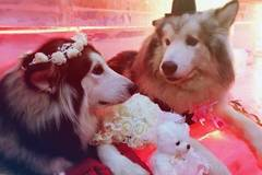 Alaskan Malamute wedding held in ice hall at Guangzhou